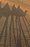 Ombres des chameaux dans le désert de Sahara. Image stock