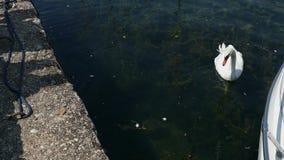 Ombres des personnes alimentant un cygne blessé sur le lac Ohrid clips vidéos