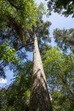 Ombres et arbres grands Voûte de forêt atteignant pour le ciel photographie stock