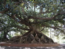 ombu结构树 免版税库存图片