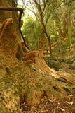 Ombu树 免版税库存照片