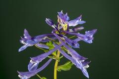 Omeiana de Corydalis Photos libres de droits