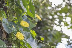 Ometepe Island yellow wild flowers Royalty Free Stock Photo