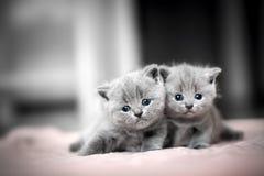 Omfamning för två gullig kattungar brittisk shorthair royaltyfri fotografi
