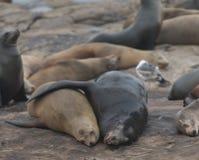 Omfamning för två sjölejon Arkivfoton