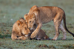 Omfamninglejon i masaien Mara Arkivbild