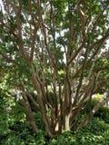 Omfloers de boomstammen van de Mirteboom in een botanische tuin Royalty-vrije Stock Foto