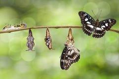 Omformning från larven, puppa av Svart-ådrad serg Royaltyfri Foto