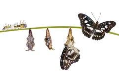 omformning från larven, puppa av Svart-ve Royaltyfri Foto