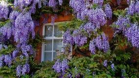 Omgeende fönster för Wisteria royaltyfri fotografi