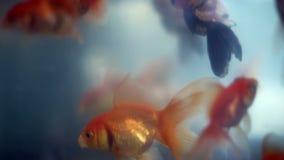 Omgekeerde drijvende goudvis onder mooie goudvissen stock video
