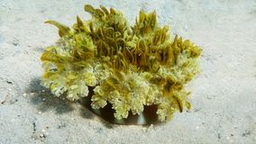 Omgekeerde kwallen, Cassiopea-andromeda royalty-vrije stock afbeeldingen