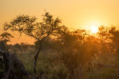 Omgivande afrikansk buskesolnedgång royaltyfria foton