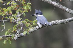Omgorde die Ijsvogel in een boom wordt neergestreken royalty-vrije stock foto's
