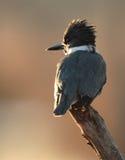 Omgorde Ijsvogel Stock Foto's