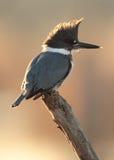 Omgorde Ijsvogel Royalty-vrije Stock Foto's