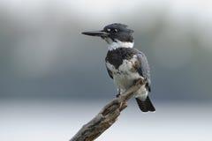 Omgorde Ijsvogel Royalty-vrije Stock Fotografie