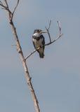 Omgorde Ijsvogel op droge tak Royalty-vrije Stock Fotografie