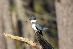 Omgorde Ijsvogel op een Stomp stock foto's