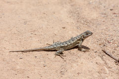 Omheining Lizard bij Laguna het Park van de Kustwildernis Royalty-vrije Stock Foto's