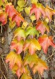 Omheining met kleurrijke bladeren in de herfst wordt behandeld die royalty-vrije stock fotografie