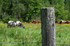 Omheiningspost met koeien op gebied in Quebec Stock Afbeelding