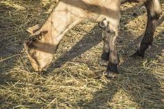 Omheiningsschaduwen over geit Royalty-vrije Stock Fotografie