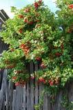 Omheiningsviburnum Royalty-vrije Stock Afbeeldingen