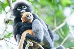 Omhels met liefde, is een pasgeboren Duistere Bladaap op mother's bewapent in de takken van tropische boom royalty-vrije stock afbeeldingen