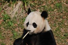 Omhoog Dicht en Persoonlijk Panda Bear Eating Bamboo Shoots royalty-vrije stock fotografie