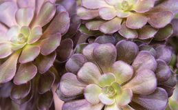 Omhoog dichte Aeoniumundulatum royalty-vrije stock foto