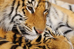 Omhoog dichte de Tijger van Bengalen stock afbeelding