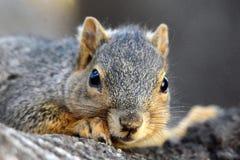 Omhoog dichte eekhoorn stock afbeeldingen