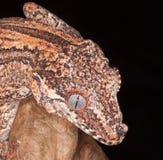 Omhoog dichte gekko stock afbeelding