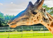 Omhoog dichte giraf stock fotografie