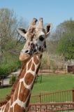 Omhoog dichte giraf Royalty-vrije Stock Foto's