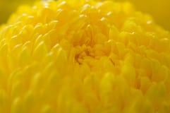 Omhoog dichte goudsbloem stock afbeelding