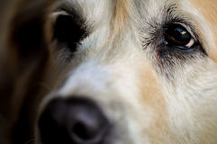 Omhoog dichte het oog van de hond Stock Foto's