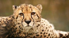 Omhoog dichte jachtluipaard Royalty-vrije Stock Foto's
