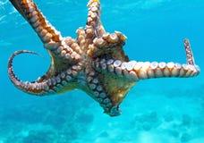 Omhoog dichte octopus Stock Afbeelding