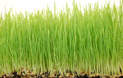 Omhoog dichte Wheatgrass Stock Afbeelding