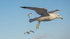 Omhoog dichte zeemeeuw tijdens de vlucht stock foto