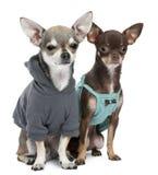 Omhoog geklede Chihuahuas Stock Afbeelding
