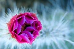 Omhoog gesloten cactus stock afbeelding