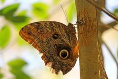 Omhoog gesloten grote uil valt een vlinder die op de boom in Iguazu rusten Nationaal Park, Puerto Iguazu, Argentinië royalty-vrije stock foto