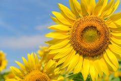 Omhoog gesloten van Zonnebloemenbloem in landbouwbedrijf stock afbeeldingen