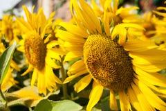 Omhoog Gesloten zonbloem Royalty-vrije Stock Fotografie