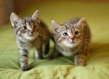 Omhoog heimelijk neemt gestreept katje twee Stock Foto