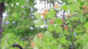 Omhoog het filteren van tulpenboom stock video