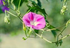Omhoog sluit de mauve, roze bloem van Ipomoeapurpurea, de purpere, lange, of gemeenschappelijke ochtendglorie, Royalty-vrije Stock Foto's